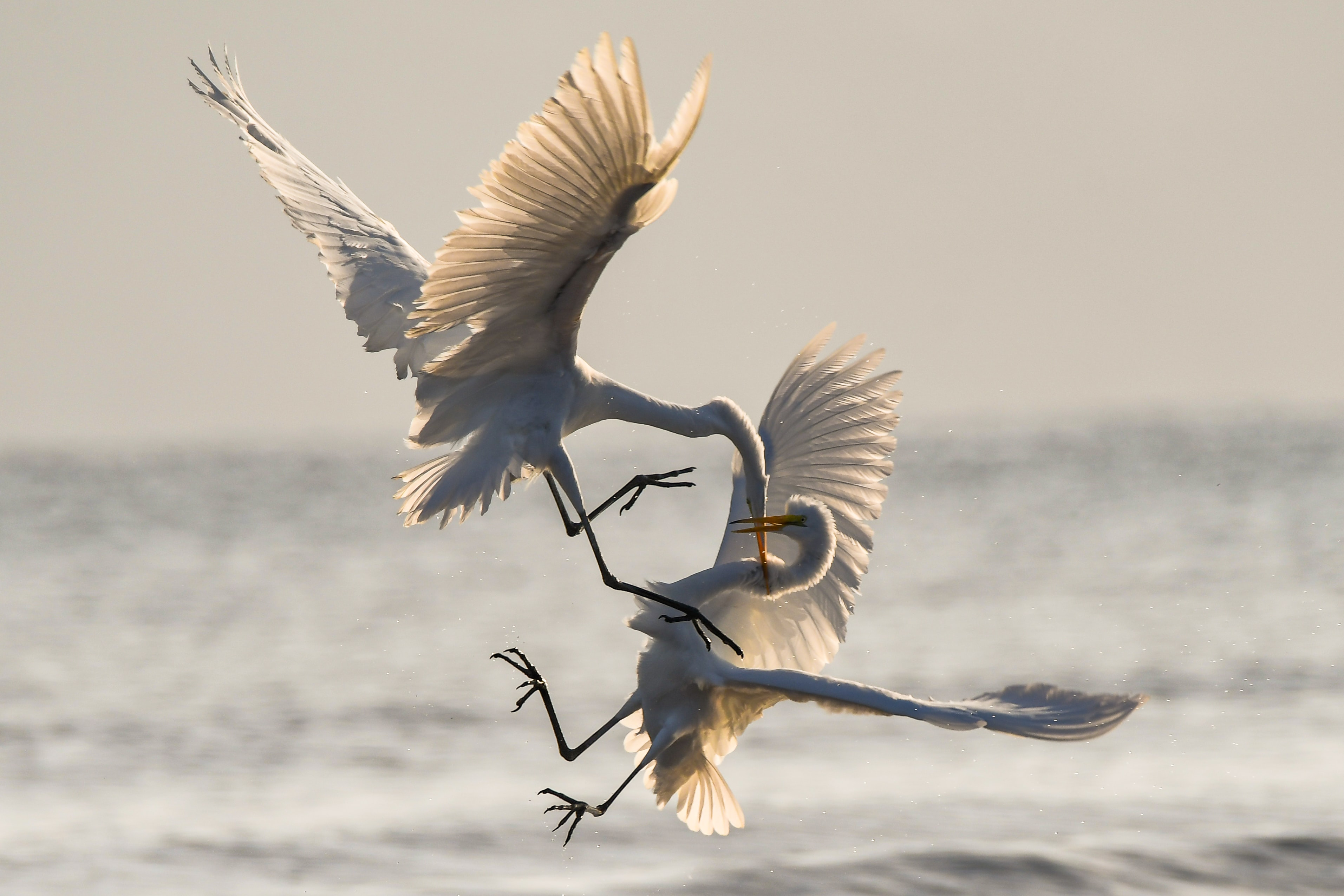 Two birds fighting